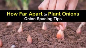 How Far Apart to Plant Onions titleimg1