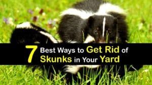 How to Get Rid of Skunks in Your Yard titleimg1