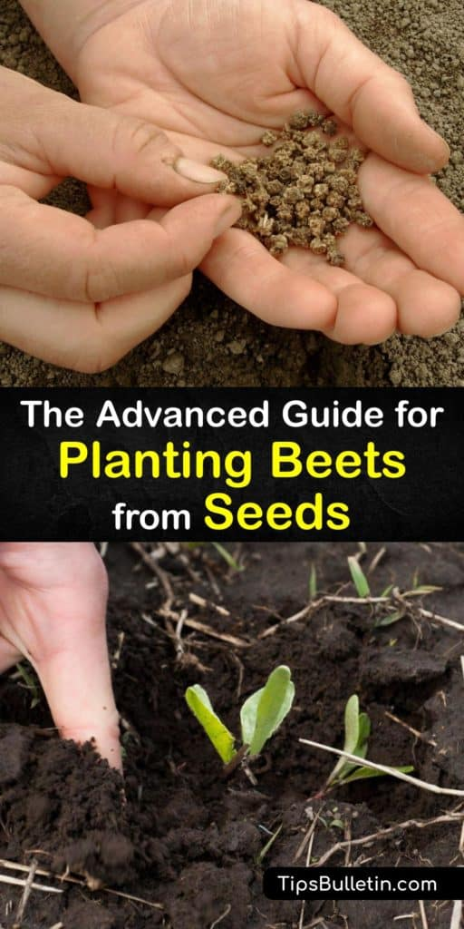 Gather your Detroit Dark Red heirloom beet seeds and learn everything there is to know about Beta vulgaris. This thorough guide contains information on soil temperature, spacing, mulch, row cover, and even the best beets to use for pickling. #grow #beets #seed