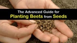 How to Grow Beets from Seed titleimg1