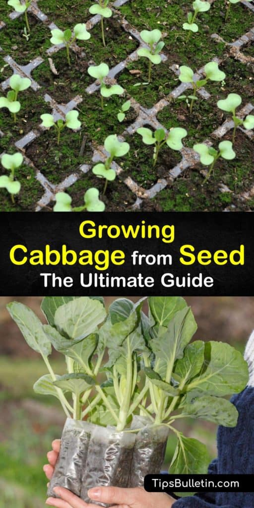 Learn how to grow cabbage (Brassica oleracea) in a few simple steps. Cabbage seeds are inexpensive and starting them indoors and transplanting them in the garden with mulch and the right spacing rewards you with a healthy, abundant harvest at the end of the season. #howto #grow #cabbage #seeds