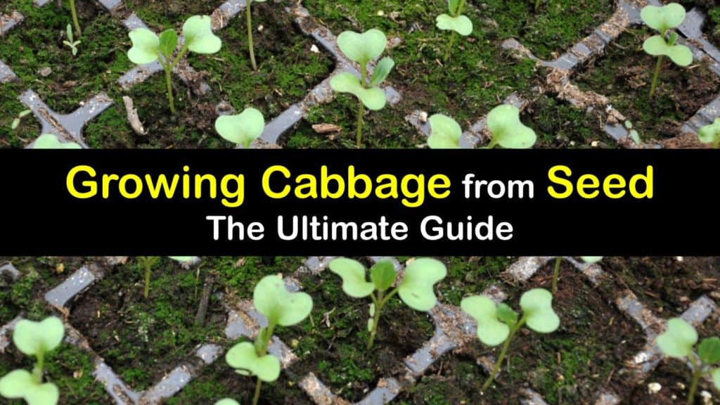 How to Grow Cabbage from Seed titleimg1