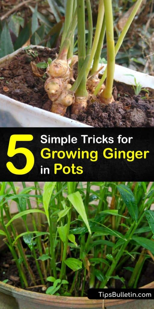 Pick out the best ginger rhizomes and use these growing-ginger-indoors tips to always have some on hand. This article includes tips about potting soil and potting mix, keeping the soil moist to encourage sprouting, and proper drainage holes to make Zingiber officinale thrive. #grow #ginger #pot