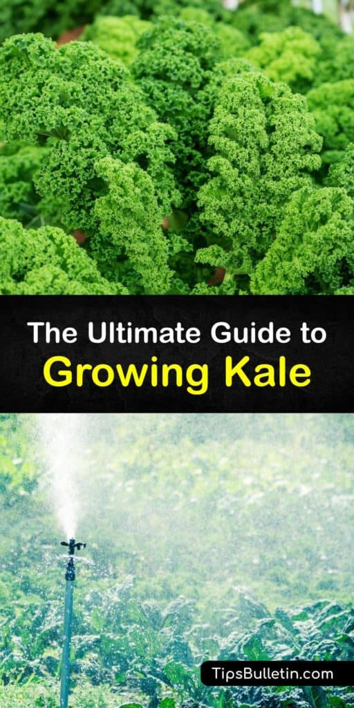 Discover the best tips for growing kale, which is a biennial plant that thrives in cool weather, moist soil, and full sun. Grow fun varieties like Lacinato, Red Russian, and curly kale. Use companion planting to repel pests like aphids and cabbage worms. #grow #kale #gardening