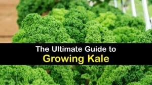 How to Grow Kale titleimg1