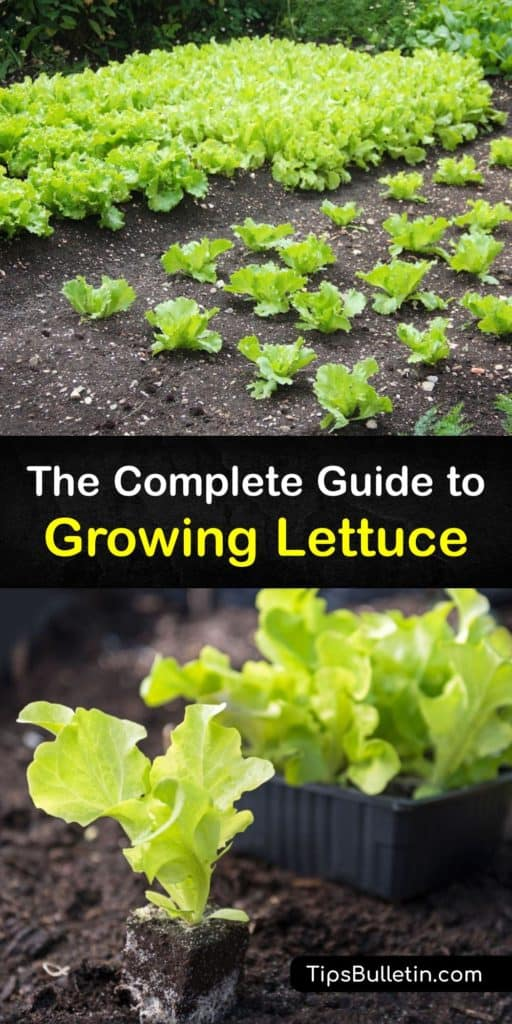 Find out how to plant lettuce seeds and grow beautiful lettuce plants in your garden. Learn about plant spacing, using mulch to retain moisture and keep the soil cool in hot weather, and protecting your plants from aphids and other pests with row covers. #plant #lettuce #growing