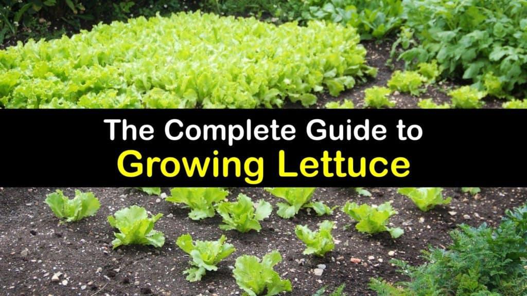 How to Grow Lettuce titleimg1