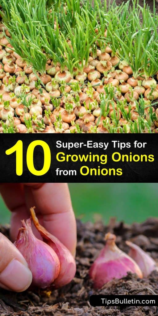 Learn how to grow onions without using onion seeds by regrowing onions from the scraps of onion bulbs or green onions. Plant the onion seedlings in a full sun area of the garden or patio and enjoy new onions at the end of the growing season. #howto #regrow #onions #scraps