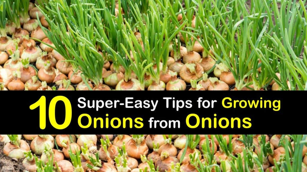 How to Grow Onions from Onions titleimg1