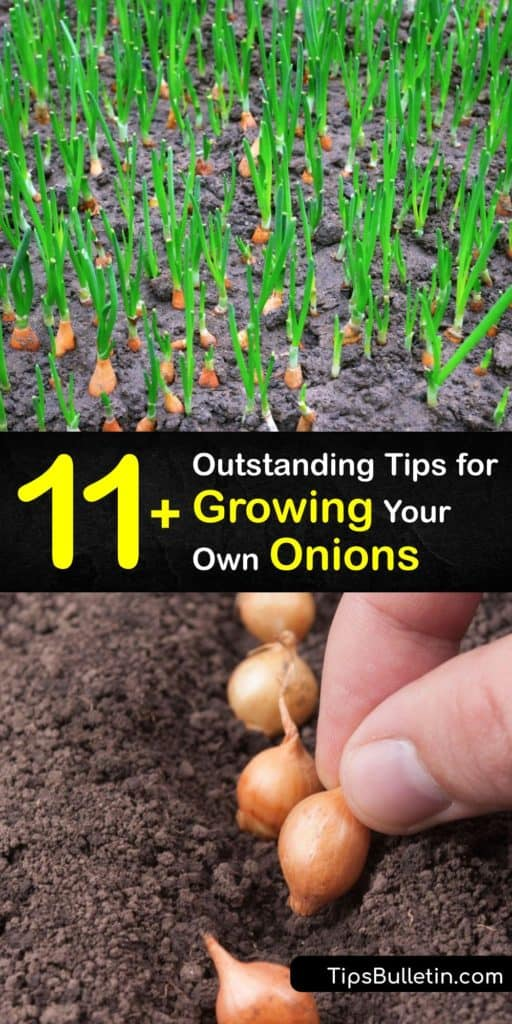 Discover the best tricks for planting onions this growing season. Short-day onions form bulbs with 12 hours of sunlight, and long-day onions require 14-16 hour days. Plant onions in loose, well-draining soil and use mulch to hold moisture and suppress weeds. #grow #onions #howto