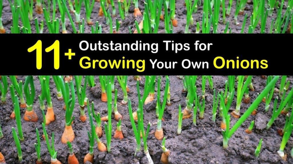 How to Grow Onions titleimg1