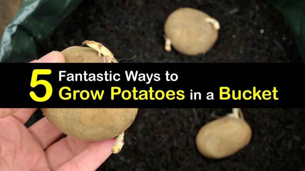 How to Grow Potatoes in a Bucket titleimg1