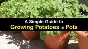 How to Grow Potatoes in a Pot titleimg1