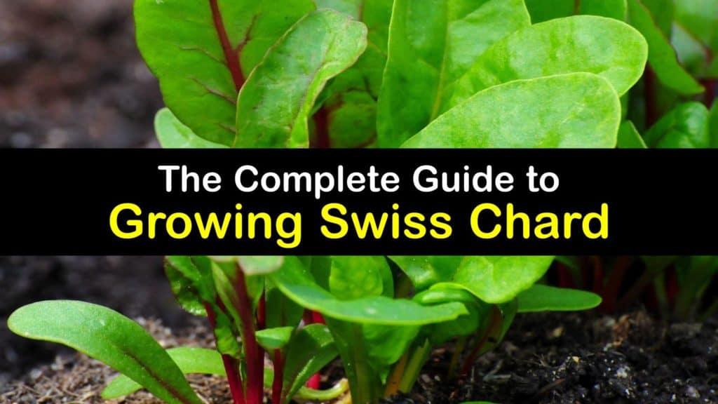 How to Grow Swiss Chard titleimg1