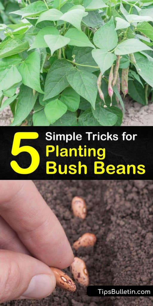 Find out how to grow bean plants from seed from germination to harvest. Learn about premium heirloom bean varieties like Blue Lake and Kentucky Wonder. Plant bean seeds in full sun and use mulch to hold soil moisture to enjoy a harvest of delicious snap beans. #grow #bush #beans #gardening