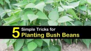 How to Plant Bush Beans titleimg1