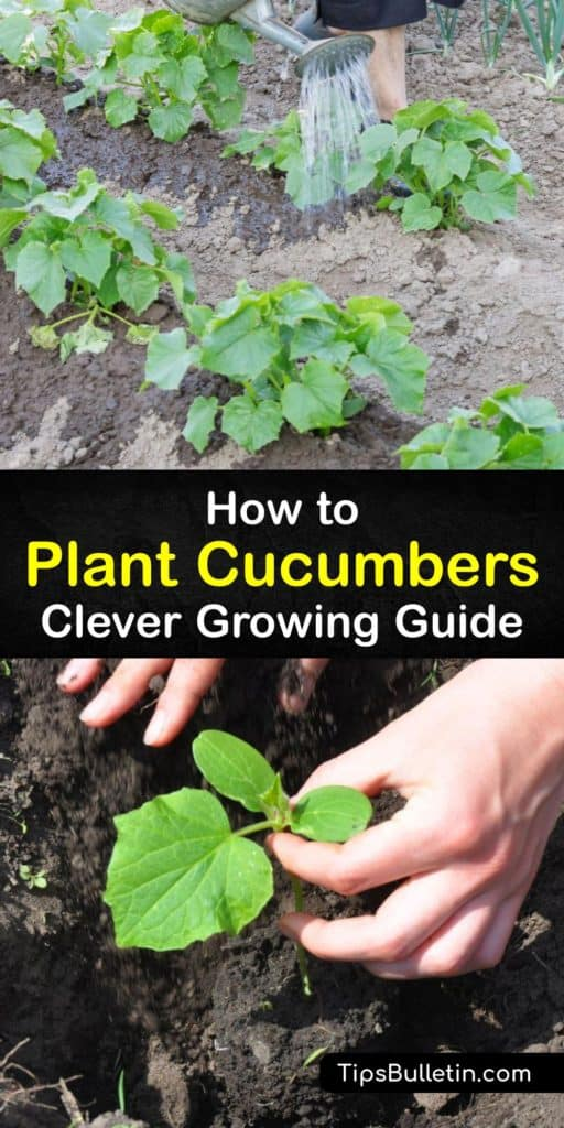 Learn how to grow cucumber plants in a few simple steps. There are many vining and bush cucumber varieties with three main types, burpless, slicing, and pickling, and they are all easy to grow as long as you prepare the garden with organic matter and mulch. #howto #planting #cucumbers