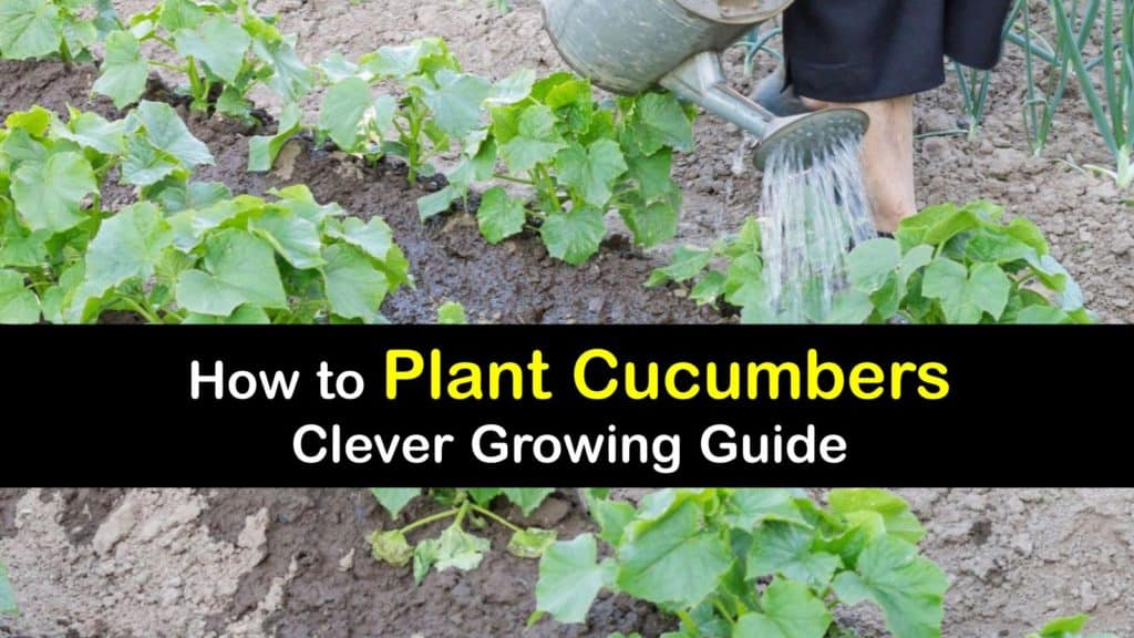 How to Plant Cucumbers titleimg1