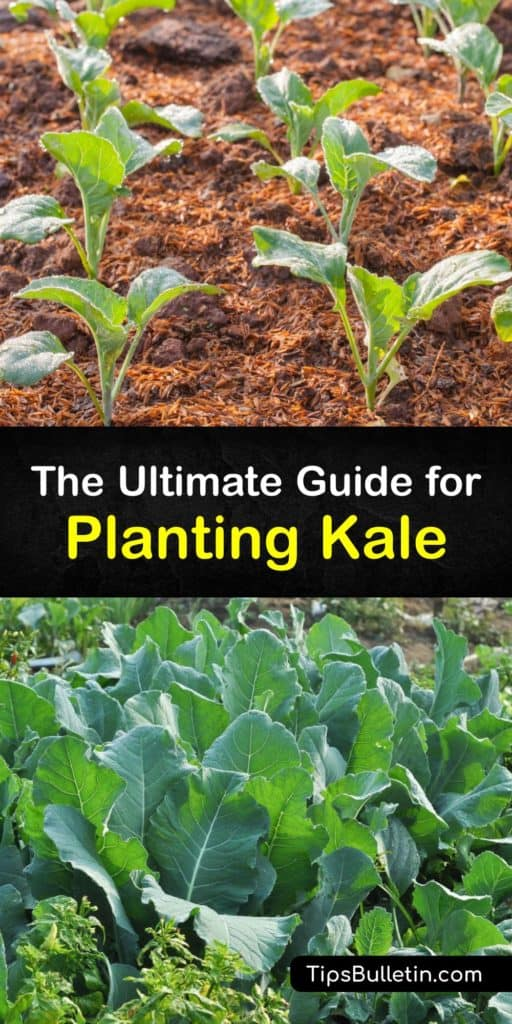 Make your kale plants thrive when you give this biennial plant full sun and plant it after the last frost of early spring. Your kale seeds and leafy greens flourish when you care for them the right way and keep them away from aphids, cabbage worms, and other pests. #howto #planting #kale