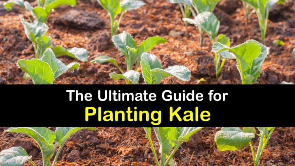 How to Plant Kale titleimg1