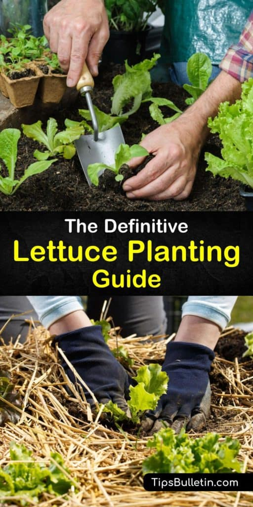 Discover how to plant lettuce seeds and grow your own lettuce plants in a garden or raised beds. Start your lettuce in the early spring, spread mulch over the ground after transplanting the seedlings in the garden, and install row covers to speed their growth. #howto #plant #lettuce #growing