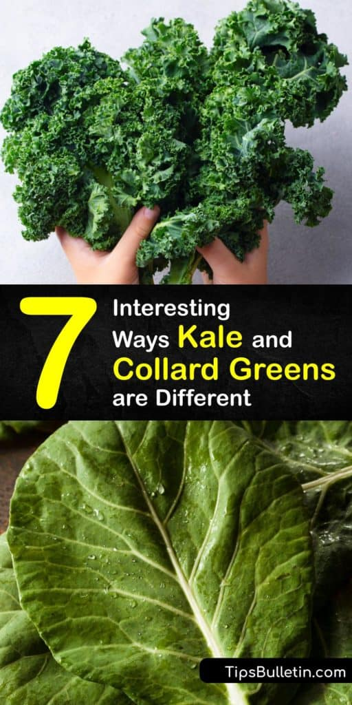 Learn the difference between collard greens and kale and how to grow them in the garden. Both leafy greens are nutritious, rich in vitamin K, contain folate and magnesium, and cooking them in garlic and olive oil reduces the bitter flavor. #kale #collardgreens