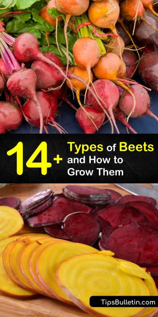 Discover all the different types of beets and how to grow your own at home to enjoy fresh beets and beet greens. There are more beets than the typical red beet, from the Chiogga beet that resembles a candy-cane and the Burpee golden beet to sugar beets. #types #beets #varieties