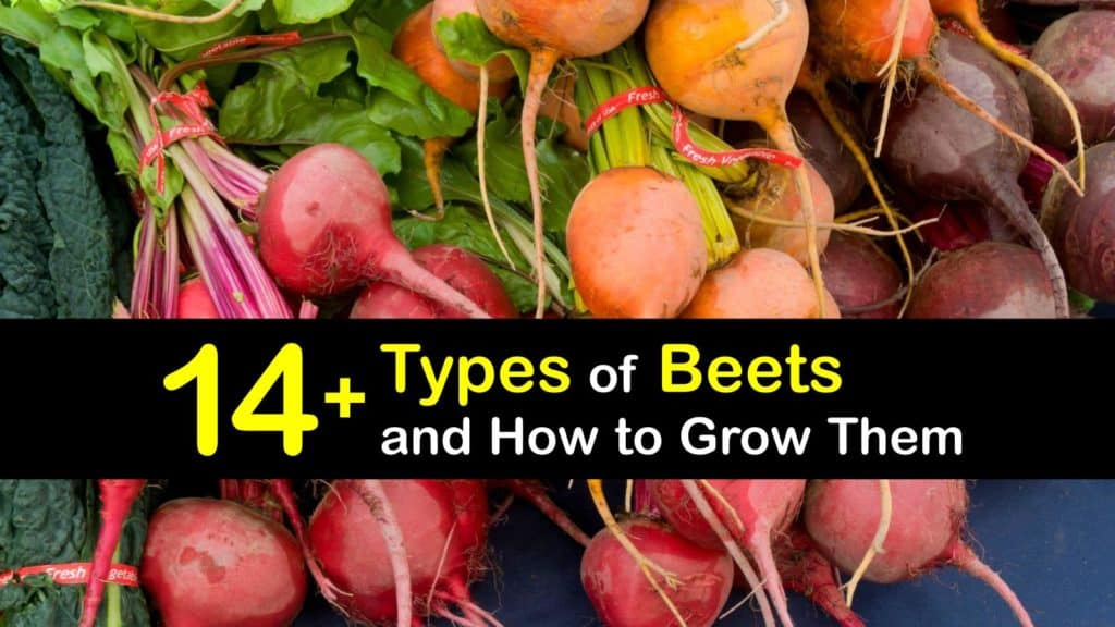 types of beets titleimg1