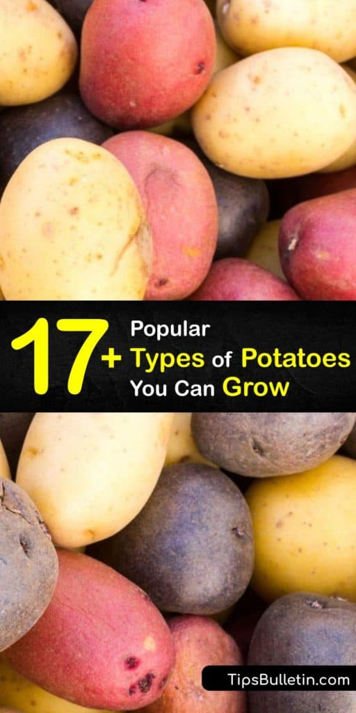 Discover the best varieties of potatoes for your garden. From buttery Yukon Golds to starchy russets, you'll find the perfect types of potatoes for baking, boiling, mashing, roasting, or making French fries and potato salad. #potato #varieties #growing