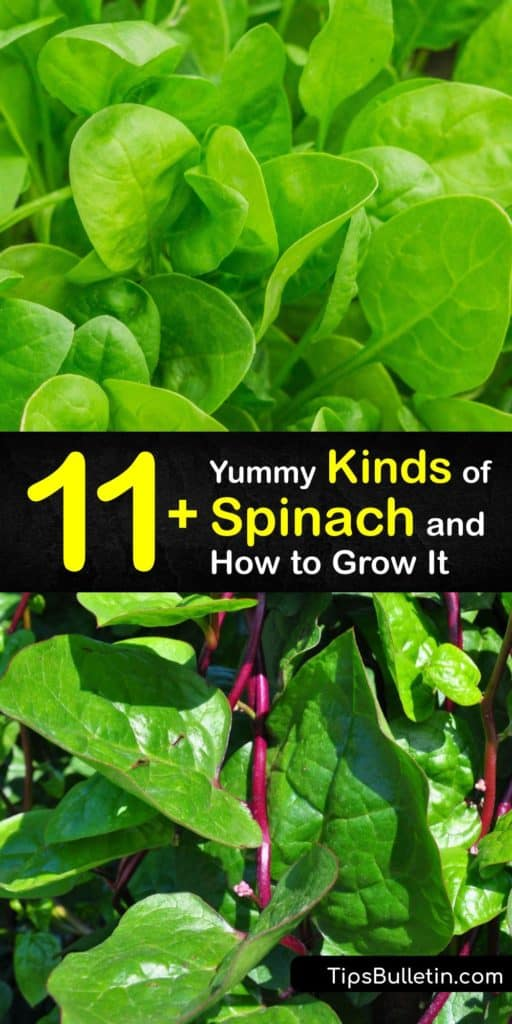 Learn about the different types of spinach and how to grow your own at home. Savoy spinach has curly leaves, while semi-savoy is less crinkly, and flat-leaf spinach has smooth leaves, and there are different spinach varieties in each type. #spinach #varieties #types