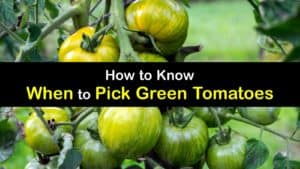 when to pick green tomatoes titleimg1