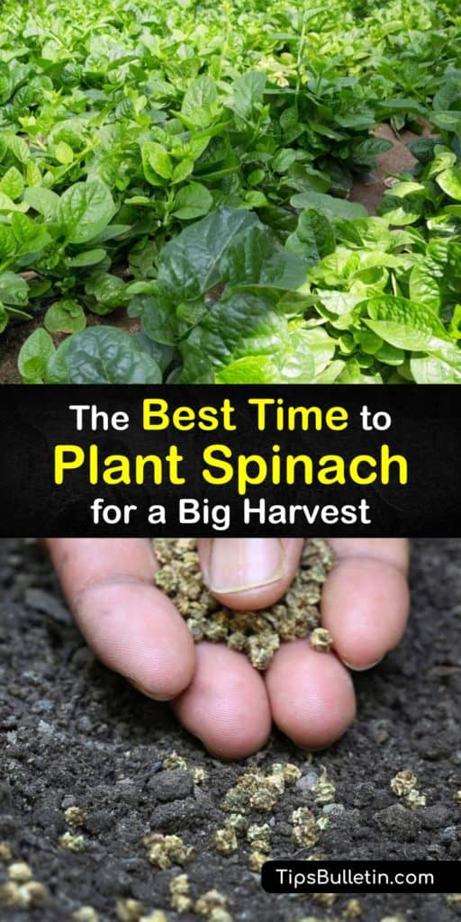 Master the timing of when to plant spinach whether you live in hot or cool weather. These tips provide information on planting in the early spring and using a cold frame, mulch, or row cover to protect plants from aphids and downy mildew before harvesting the outer leaves. #when #plant #spinach