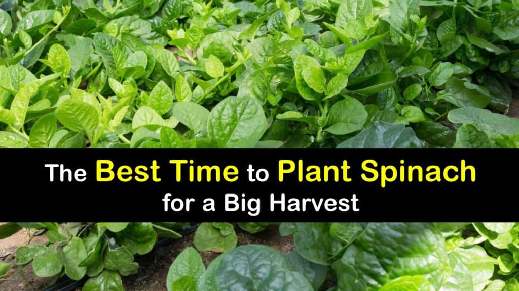 When to Plant Spinach titleimg1