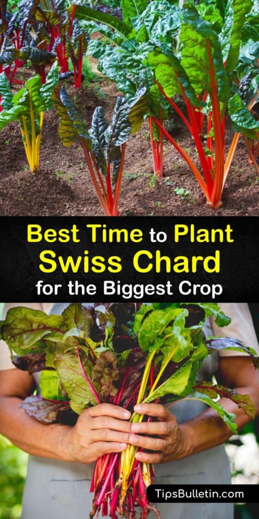 Discover how to sow seeds, grow your own Swiss chard plants at home, and plant them in the garden or container after germination. These biennial leafy greens with rainbow colored stalks are easy to grow with the proper spacing and mulch. #time #plant #swisschard