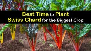 When to Plant Swiss Chard titleimg1