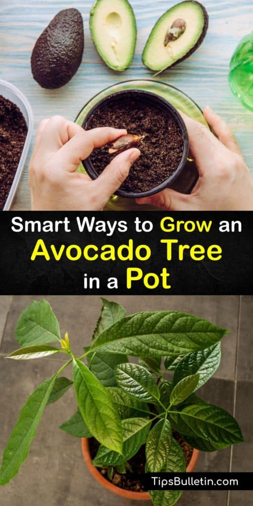 Discover how to grow an avocado plant from an avocado seed as a houseplant or potted tree. Save the avocado pit from your favorite recipe and sprout it in water. Plant it in potting soil in direct sunlight, fertilize it as it grows, and wait for it to bear fruit. #pots #growing #avocado #tree