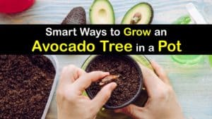 How to Grow an Avocado Tree in a Pot titleimg1