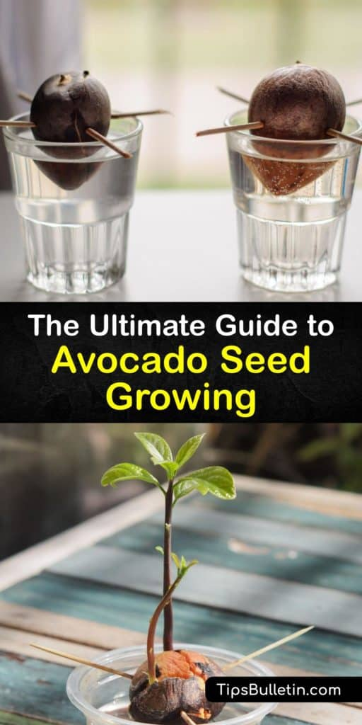Discover how to grow an avocado plant from the pit. Although it's unlikely to ever bear fruit, sprouting an avocado seed on your kitchen counter is still fun and rewarding. All you need is water, rich potting soil, a large pot with drain holes, and patience. #grow #avocado #seed