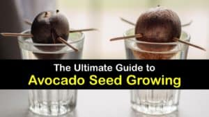 How to Grow Avocados from Seed titleimg1