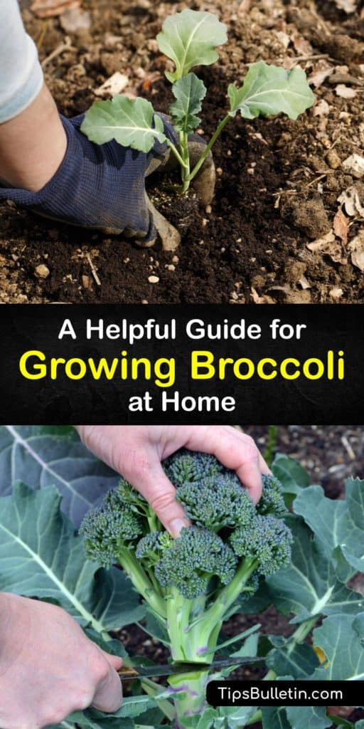 Find out how easy it is to grow broccoli plants and similar plants like Brussels sprouts with this gardening guide. Brassica oleracea is a fall crop that produces florets on a central head and needs full sun and drainage to reduce the risk of diseases like clubroot. #howto #grow #broccoli