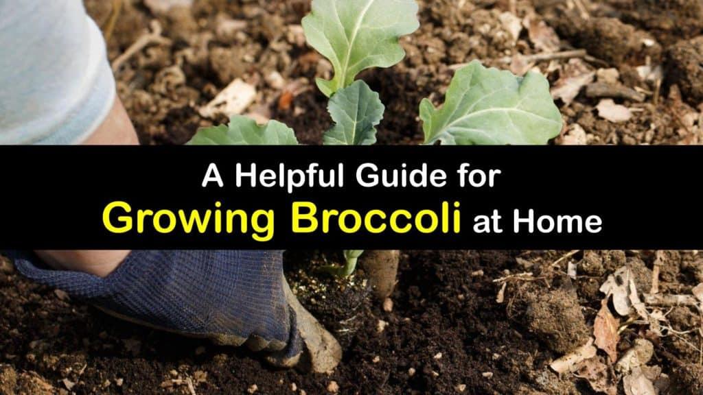 How to Grow Broccoli titleimg1