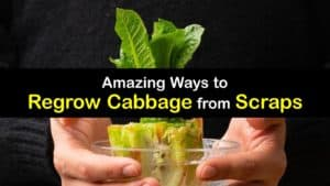 How to Grow Cabbage from Scraps titleimg1