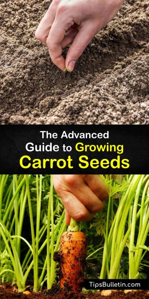 Grow Nantes and other varieties of biennial carrot roots in your garden or raised bed using this guide full of tips like how to keep the soil moist, proper spacing, planting in the early spring, and using mulch to cut back on weeding time. #growing #carrots #seeds