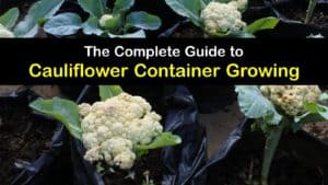 How to Grow Cauliflower in a Container titleimg1