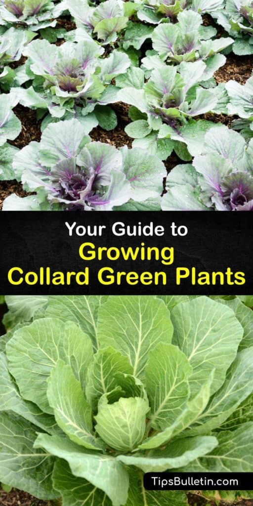 Appreciate the Brassica oleracea and cabbage family on a deeper level after learning how to care for them the right way. Use our guide to grow dark green collard plants from the cool weather of spring to late summer and avoid pests like cabbage loopers and aphids. #growing #collard #greens