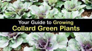 How to Grow Collard Greens titleimg1