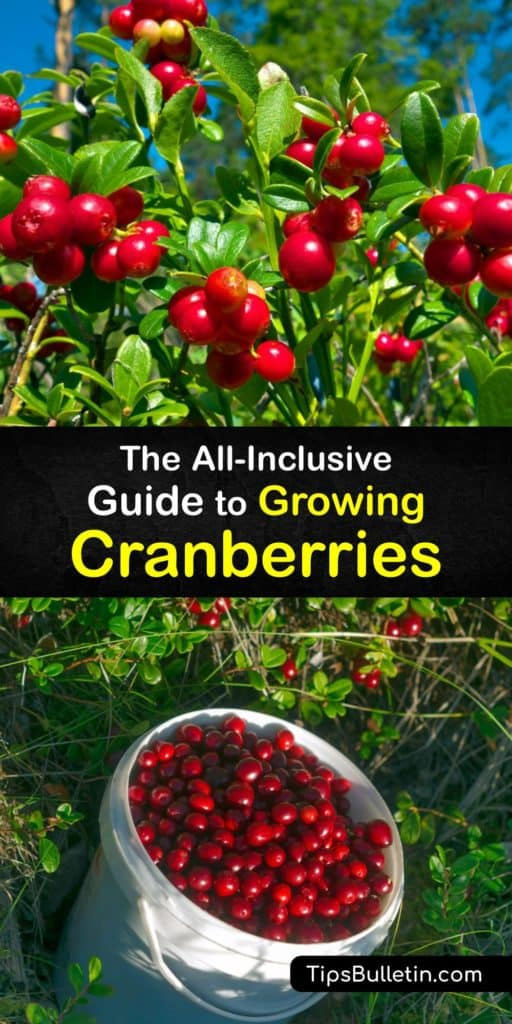 Learn how to grow cranberries in acidic soil and organic matter to produce deep red fruiting and enjoy cranberry sauce or juice at the end of the growing season. While there are cranberry bogs throughout North America, they are easy to grow at home. #howto #growing #cranberries
