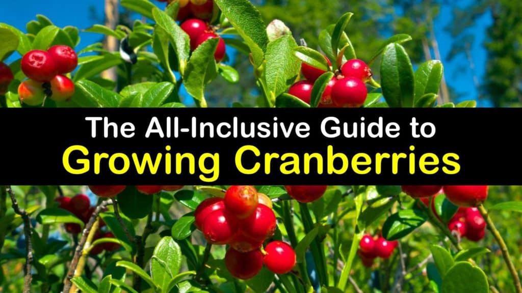 How to Grow Cranberries titleimg1