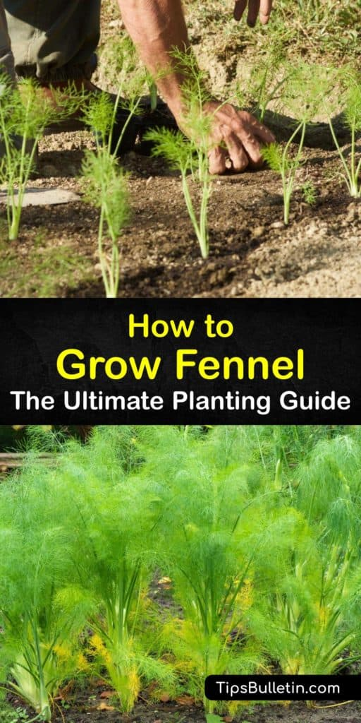 Learn how to grow herb fennel (Foeniculum vulgare) and enjoy harvesting all parts of the plant from the bulbous base to the flower heads and fennel seeds. Start seeds indoors and plant fennel in full sun after the last frost or propagate fennel by dividing plants. #howto #growing #fennel