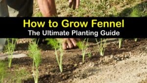 How to Grow Fennel titleimg1